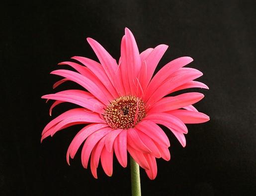 Big pink daisy flowerg mightylinksfo