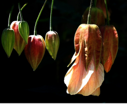 Lantern Flowers pictures.PNG