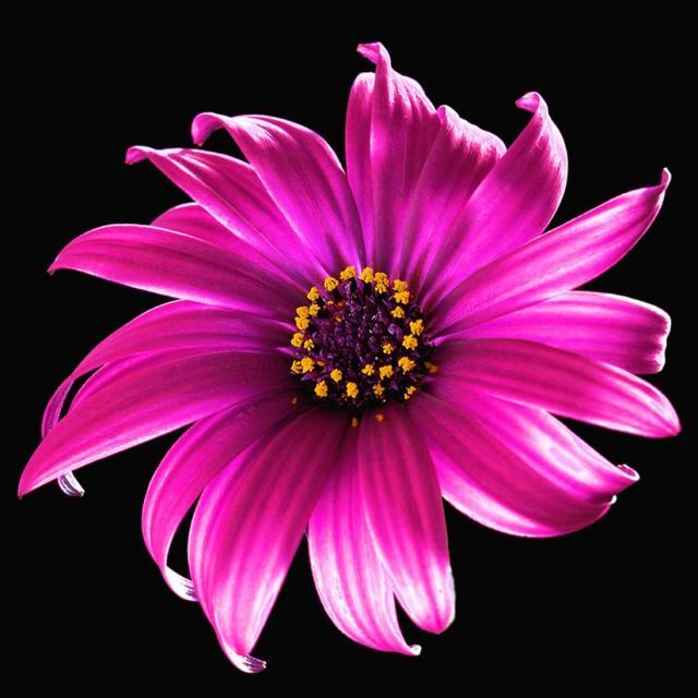 Big Pink And Purple Daisy Image Jpg Hi Res 720p Hd