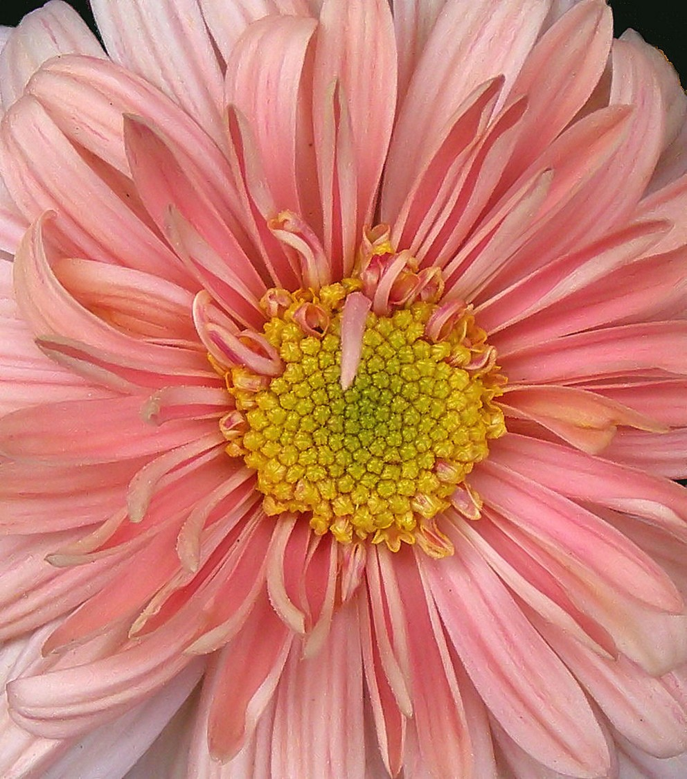 big peach daisy flower.jpg