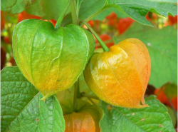 Orange and green Chinese Lantern flowers picture.PNG