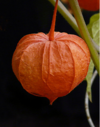 Orange Asian Flowers picture.PNG