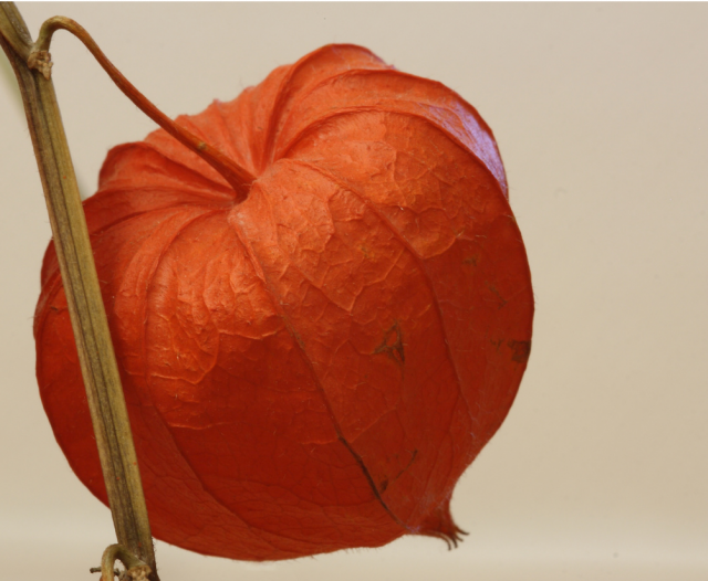 Orange Lantern Flower photo.PNG
