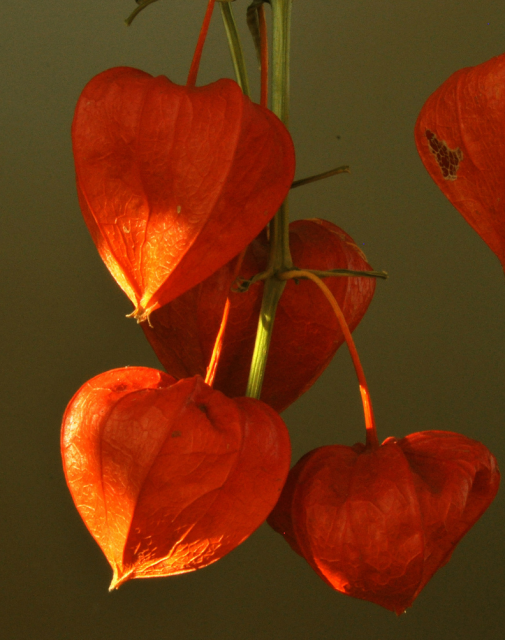 orange red chinese lantern flowers images hires p hd, Beautiful flower