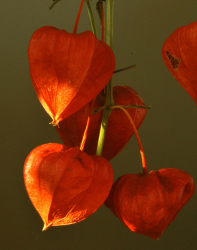 Orange red Chinese Lantern Flowers images.PNG