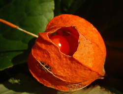 Physalis Chinese Lantern Flowers.PNG