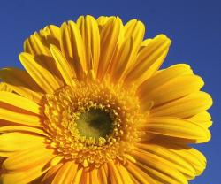 beautiful yellow daisy flower.jpg