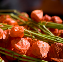 Photo fo Chinese Lantern Flowers in rich orange.PNG