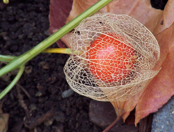 Picture of Chinese Lantern Flower.PNG