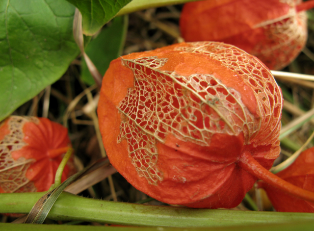 picture physalis alkekengi  chinese lantern flowers hires, Beautiful flower
