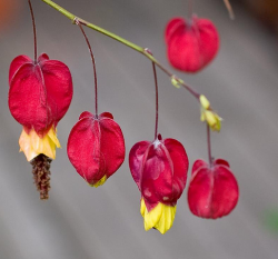 Red Chinese Lantern Flowers with yellow centers.PNG