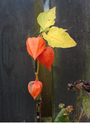 Rich orange Chinese Lantern Flowers in garden.PNG