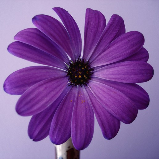 Purple Daisy Flower: Beautiful Purple Daisy.jpg