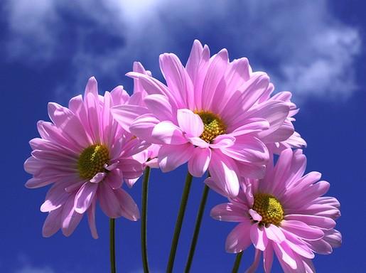 beautiful pink daisy photo jpg