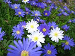 white and purple daisy flowers.jpg