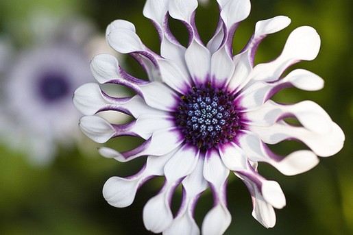 white and purple African daisy picture.jpg