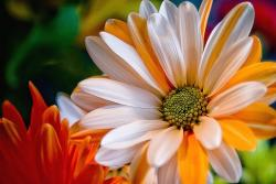 white and orange daisy flower with green center.jpg