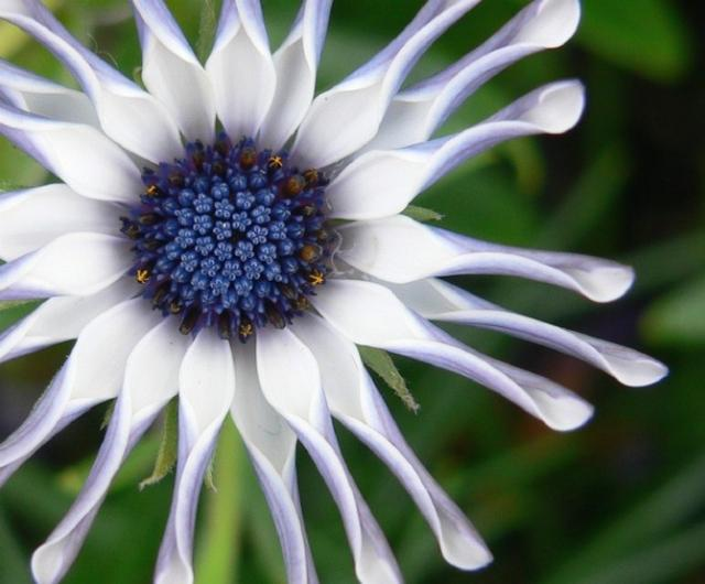 white African daisy with blue center.jpg