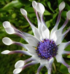 white African daisy flower with dark purple eye.jpg
