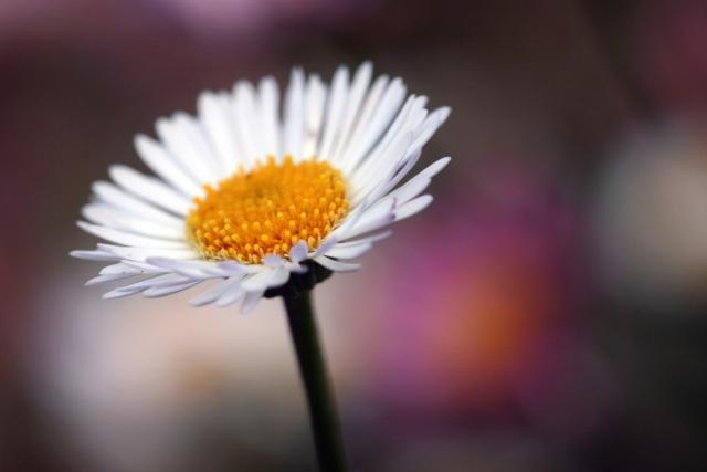 white daisy flower photo.jpg