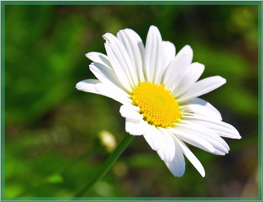 White daisy flower with bright yellow centerg mightylinksfo