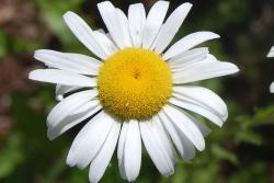 white daisy flower with big yellow center pictures.jpg