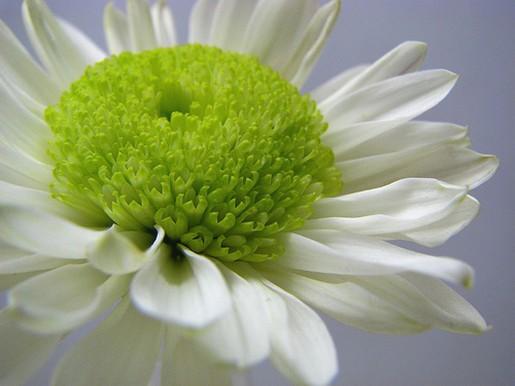 White daisy flower with green eye photog 1 comment white daisy flower with green eye photog mightylinksfo