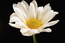 white daisy flower with yellow photo.jpg