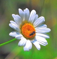 white daisy flower with yellow image.jpg