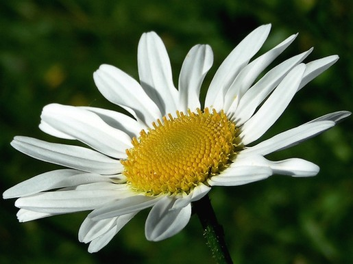 Daisy Flower Pictures P 2