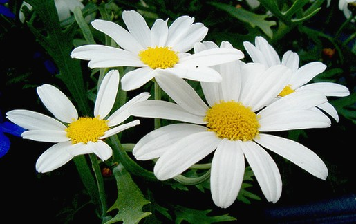white daisy flowers photo jpg
