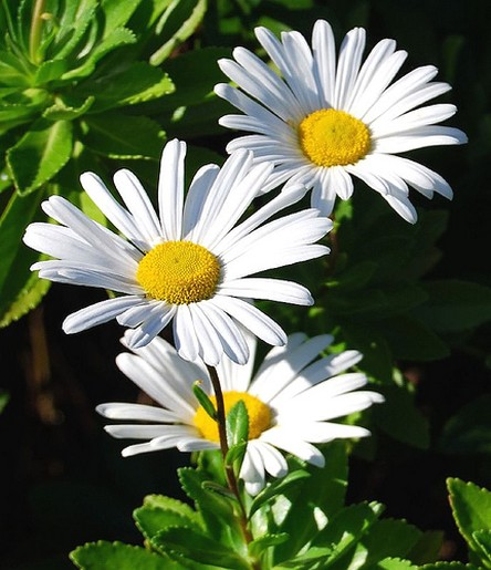 daisy flowers in nature, Beautiful flower