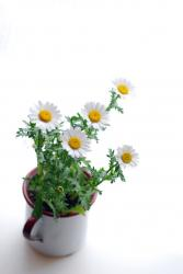 white daisy flowers pot.jpg