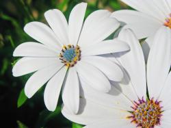 white daisy flowers with colorful centers.jpg