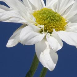 white daisy pictures.jpg