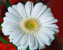 white daisy with yellow center picture.jpg