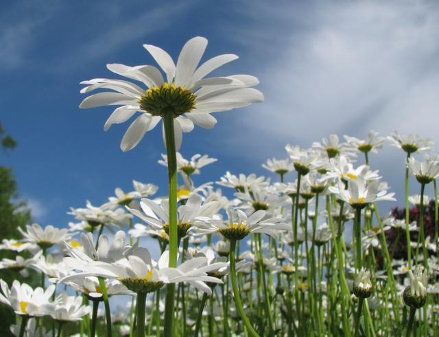 wild white daisies hires p hd, Beautiful flower