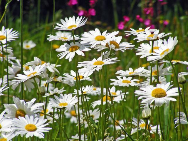 Wild white daisy flowers pictureg hi res 720p hd wild white daisy flowers pictureg mightylinksfo