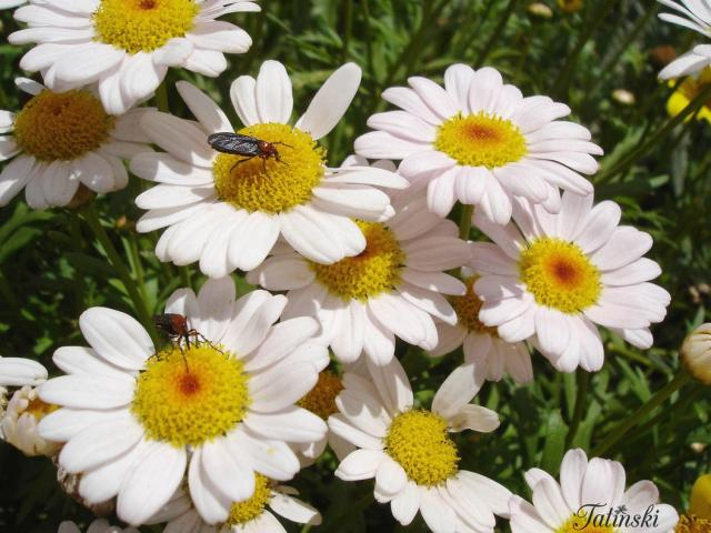 wild white daisy flowers with bugs.jpg