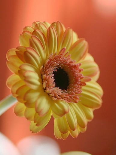 yellow and peach daisy.jpg