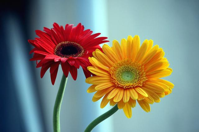 yellow and red daisy flowers ×  annie, Natural flower