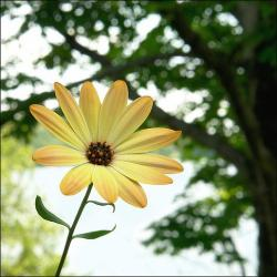 yellow daisy flower picture.jpg