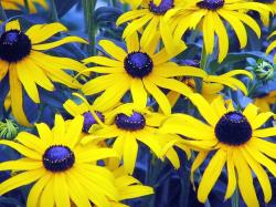yellow daisies with dark purple.jpg