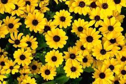 yellow daisies with black eyes.jpg