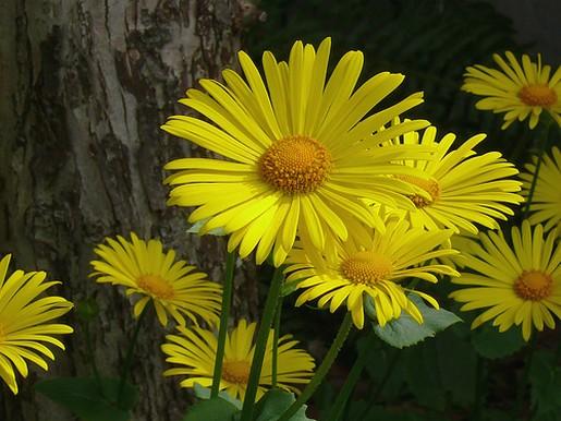 yellow daisy flowers pic.jpg