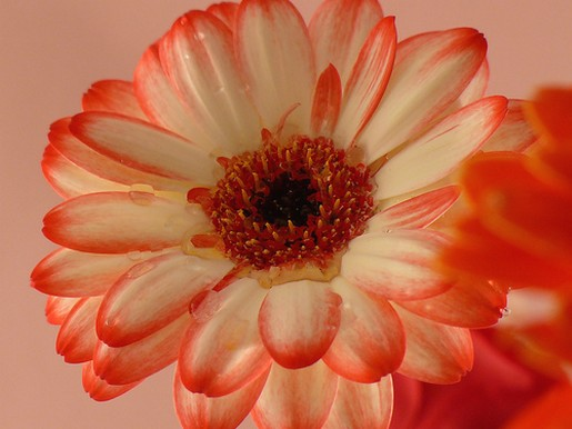 yellow orange daisy flower with orange eye.jpg