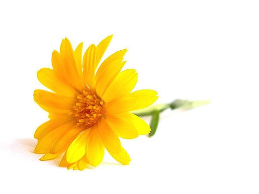 yellow daisy flower images, Beautiful flower