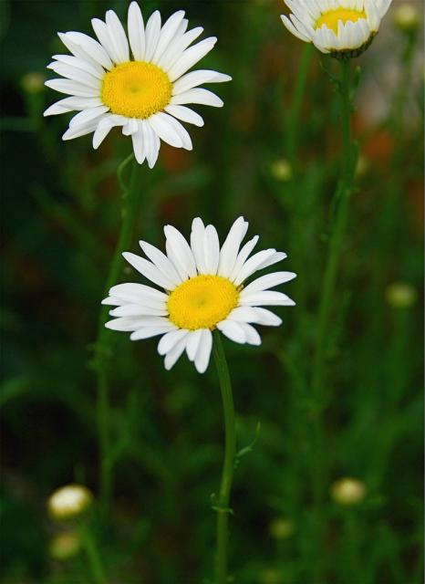 three small daisy flowers.jpg