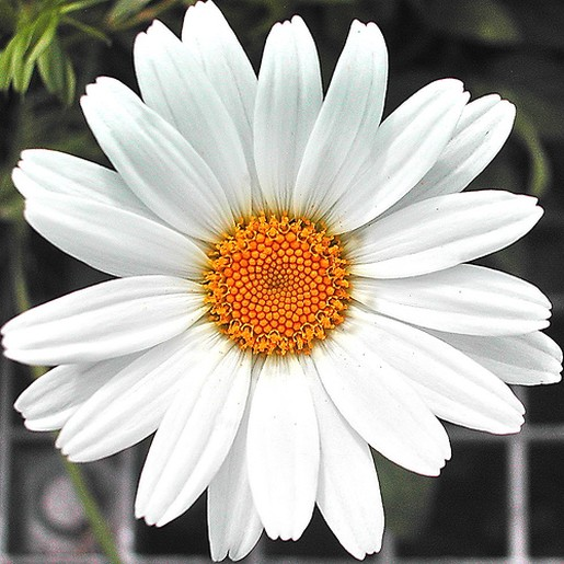 Snow White Daisy Flower With Bright Yellow Eye Jpg