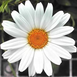 snow white daisy flower with bright yellow eye.jpg